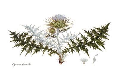 Cynara humilis, Flora Graeca