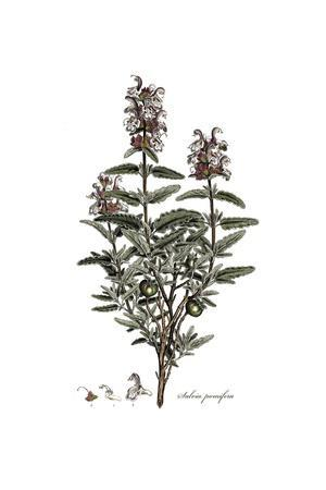 Salvia Pomifera, Flora Graeca