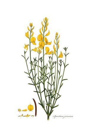 Spartium junceum, Flora Graeca