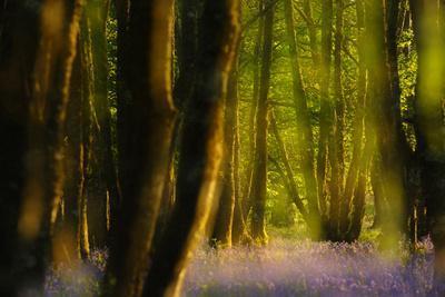 Alder (Alnus Glutinosa) Wood With Bluebells (Hyacinthoides Non-Scripta) Multiple Exposure. Argyll