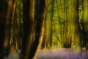 Alder (Alnus Glutinosa) Wood With Bluebells (Hyacinthoides Non-Scripta) Multiple Exposure. Argyll by Fergus Gill