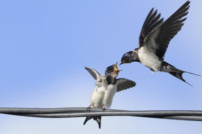 Barn Swallow (Hirundo Rustica) Feeding a Fledgling on a Wire. Perthshire, Scotland, September