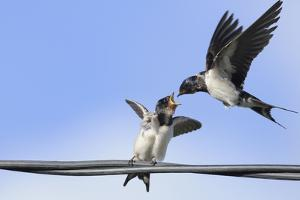 Barn Swallow (Hirundo Rustica) Feeding a Fledgling on a Wire. Perthshire, Scotland, September by Fergus Gill