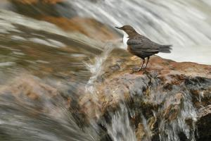 Dipper (Cinclus Cinclus) on Rock in Stream. Perthshire, Scotland, May by Fergus Gill