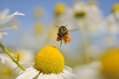 European Honey Bee (Apis Mellifera) with Pollen Sacs Flying Towards a Scentless Mayweed Flower, UK