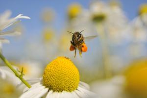 European Honey Bee (Apis Mellifera) with Pollen Sacs Flying Towards a Scentless Mayweed Flower, UK by Fergus Gill