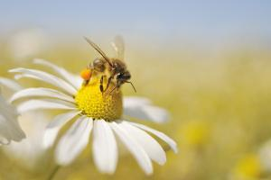 European Honey Bee Collecting Pollen and Nectar from Scentless Mayweed, Perthshire, Scotland by Fergus Gill
