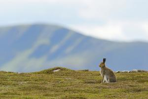 Mountain Hare (Lepus Timidus) Against Mountains. Cairngorms National Park, Scotland, July by Fergus Gill