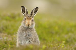 Mountain Hare (Lepus Timidus) Sub-Adult Leveret, Cairngorms National Park, Scotland, UK, July by Fergus Gill
