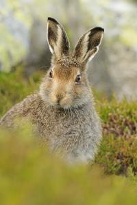 Mountain Hare (Lepus Timidus) Sub-Adult Leveret Portrait. Cairngorms National Park, Scotland, July by Fergus Gill