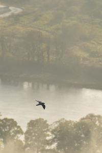 Peregrine Falcon (Falco Peregrinus) in Flight over the River Tay, Perthshire, Scotland, UK by Fergus Gill