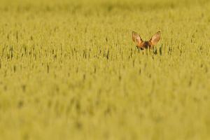 Roe Deer (Capreolus Capreolus) Doe Peering from Wheat Field. Perthshire, Scotland, June by Fergus Gill