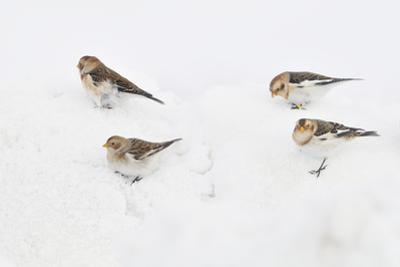 Snow Buntings (Plectrophenax Nivalis) Searching for Food in Snow, Cairngorms Np, Scotland, UK
