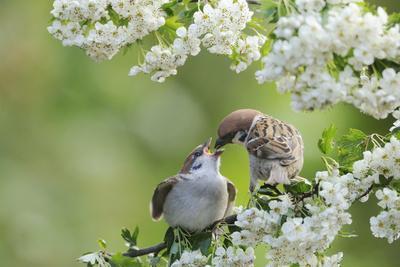 Tree Sparrow (Passer Montanus) Feeding A Fledgling