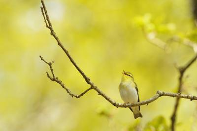 Wood Warbler (Phylloscopus Sibilatrix) Singing from Oak, Atlantic Oakwoods of Sunart, Scotland