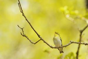 Wood Warbler (Phylloscopus Sibilatrix) Singing from Oak, Atlantic Oakwoods of Sunart, Scotland by Fergus Gill