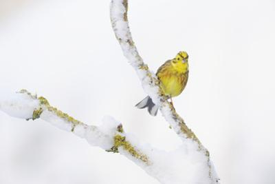 Yellowhammer (Emberiza Citrinella) Perched on Snowy Branch. Perthshire, Scotland, UK, February
