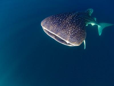 Djibouti, Bay of Tadjourah, A Whale Shark Swims Near the Surface in the Bay of Tadjourah