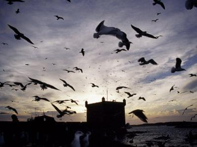 Hungry Seagulls Silhouetted Againt the Sunset in the Harbour at Essaouira, Morocco