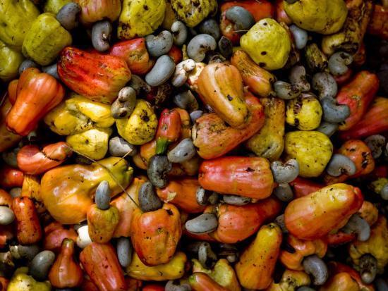 Fermenting Cashew Fruits, with Nut Attached, to Make Fenny at Sahakari Spice Farm, Ponda-Greg Elms-Photographic Print