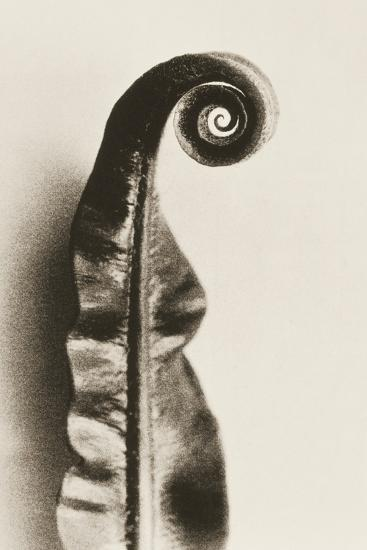 Fern Frond-Graeme Harris-Photographic Print