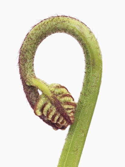 Fern sprouts-Frank Krahmer-Photographic Print