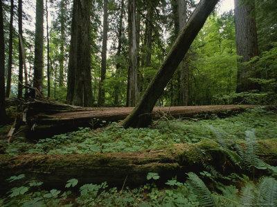 https://imgc.artprintimages.com/img/print/ferns-and-moss-covered-fallen-douglas-firs-on-a-forest-floor_u-l-p2x3510.jpg?p=0