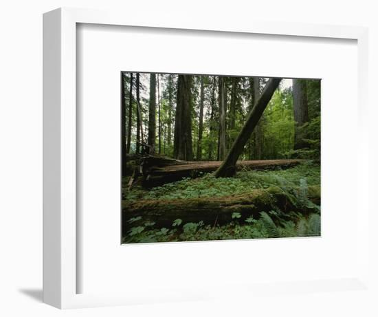 Ferns and Moss-Covered Fallen Douglas Firs on a Forest Floor-James P. Blair-Framed Photographic Print