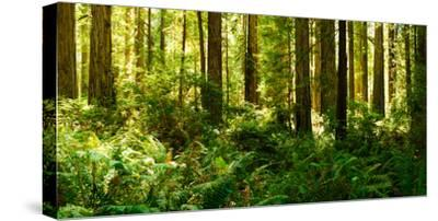 Ferns and Redwood Trees in a Forest, Redwood National Park, California, USA
