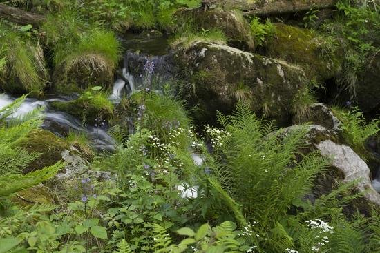 Ferns, Mosses, and Wildflowers Growing around Kleine Ohe Creek-Norbert Rosing-Photographic Print