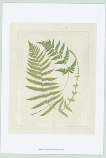 Ferns with Platemark V--Art Print