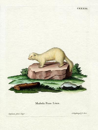 Ferret--Giclee Print
