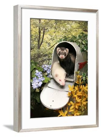 Ferrets In A Mailbox-Blueiris-Framed Photographic Print