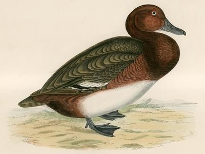 Ferruginous Duck-Beverley R. Morris-Giclee Print