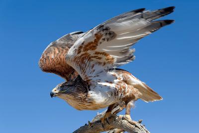 Ferruginous Hawk, Buteo Regalis-Susan Degginger-Photographic Print