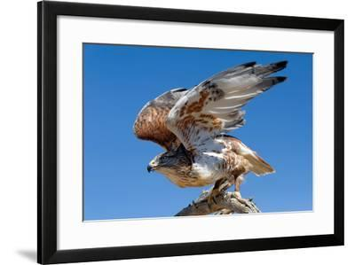 Ferruginous Hawk, Buteo Regalis-Susan Degginger-Framed Photographic Print