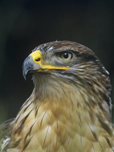 Ferruginous Hawk Head, Buteo Regalis, Southwestern USA-Joe & Mary Ann McDonald-Photographic Print