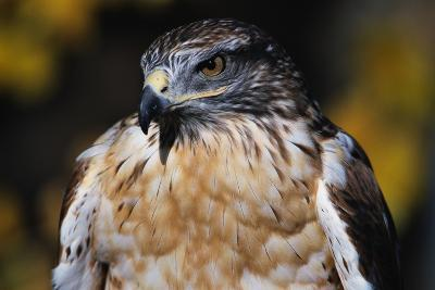 Ferruginous Hawk-W^ Perry Conway-Photographic Print