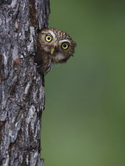 Ferruginous Pygmy Owl Adult Peering Out of Nest Hole, Rio Grande Valley, Texas, USA-Rolf Nussbaumer-Photographic Print