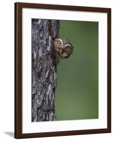 Ferruginous Pygmy Owl Adult Peering Out of Nest Hole, Rio Grande Valley, Texas, USA-Rolf Nussbaumer-Framed Photographic Print