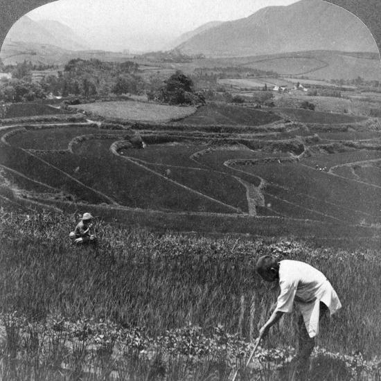 Fertile Rice Fields in the Old Crater of Aso-San, Japan, 1904-Underwood & Underwood-Photographic Print