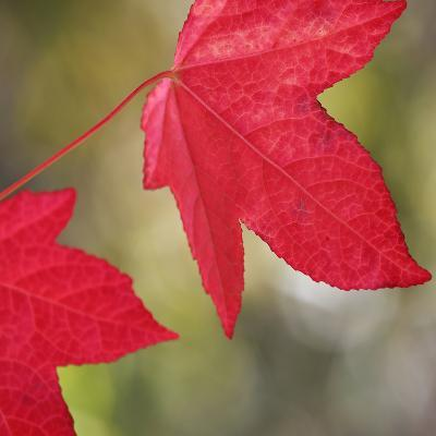 Festive Maple III-Rita Crane-Photographic Print