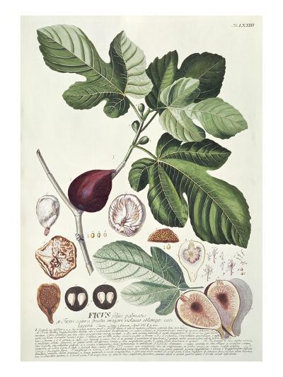 Ficus (Fig) (Coloured Engraving)-Georg Dionysius Ehret-Giclee Print