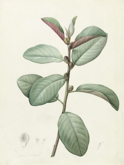 Ficus Rubeginosa-Pierre Joseph Redoute-Giclee Print