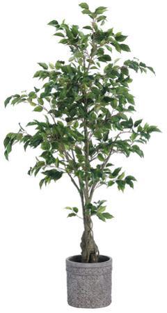 Ficus Tree - 5.5 ft