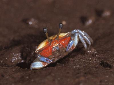 Fiddler Crab, Busuanga Island, Philippines-Jurgen Freund-Photographic Print