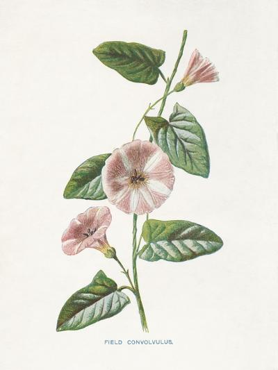 Field Convolvulus-Gwendolyn Babbitt-Art Print