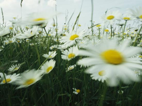 Field Filled with Daisies in Bloom Swaying in a Breeze-Klaus Nigge-Photographic Print
