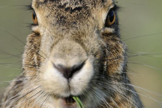 Field Hare, Lepus Europaeus, Portrait, Cut, Mammal, Animal, Hare, Face, Fur, Eat-Ronald Wittek-Photographic Print