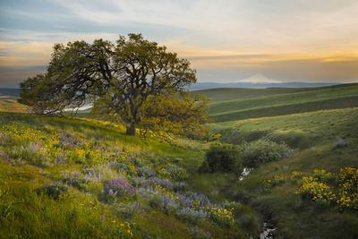 https://imgc.artprintimages.com/img/print/field-of-arrowleaf-balsamroot-lupine-and-an-oak-tree-at-columbia-hills-state-park-mt-hood_u-l-q12tabg0.jpg?p=0